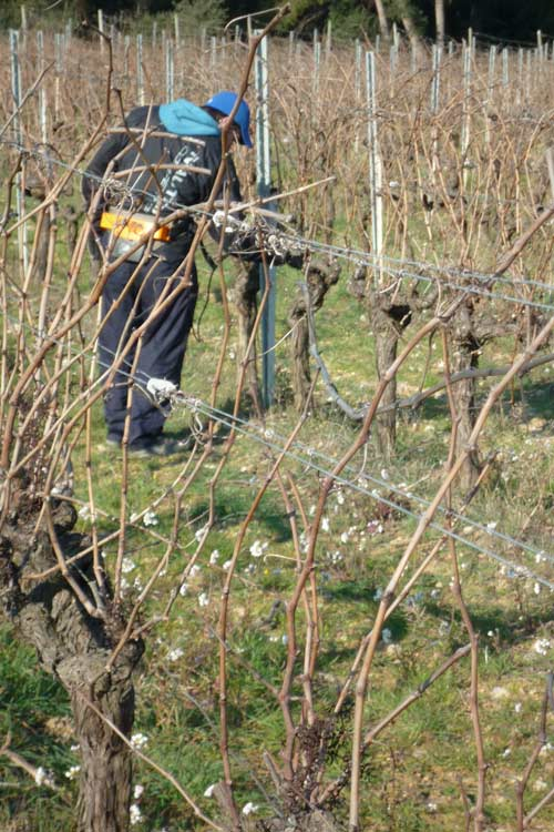 winter work in the vineyard at La Croix Martelle